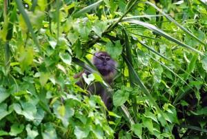 long tailed macaque puerto princesa sv delos