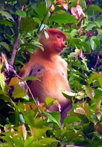 proboscis monkeys puerto princesa sv delos