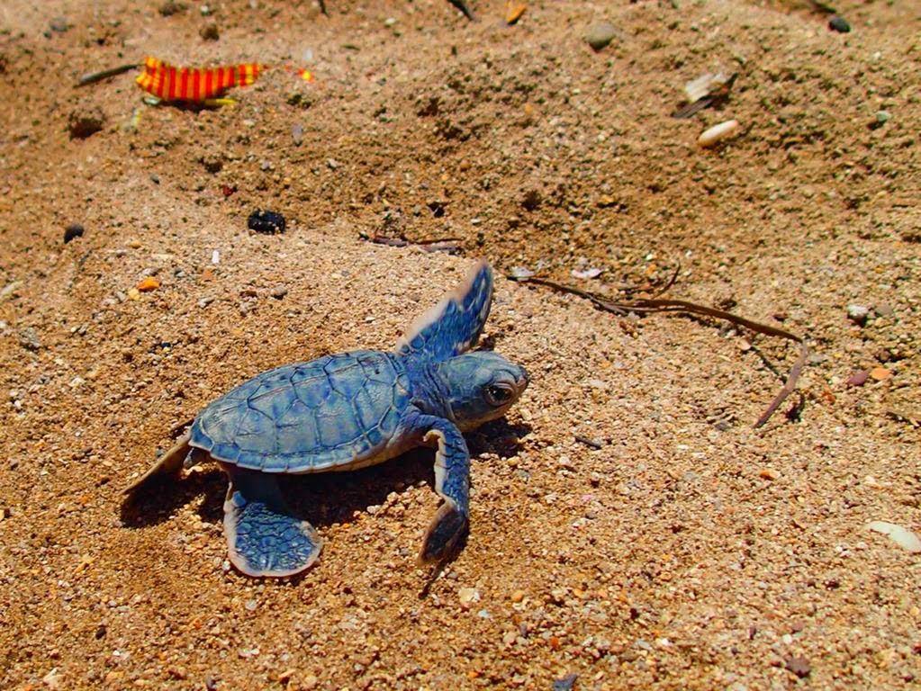 phillippines turtle island sea turtles sv delos