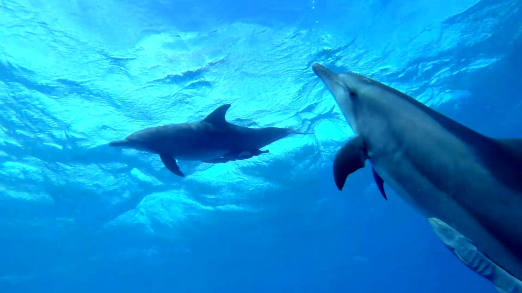 dolphins cocos keeling to chagos
