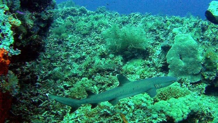 sharks tubbahata reef scuba