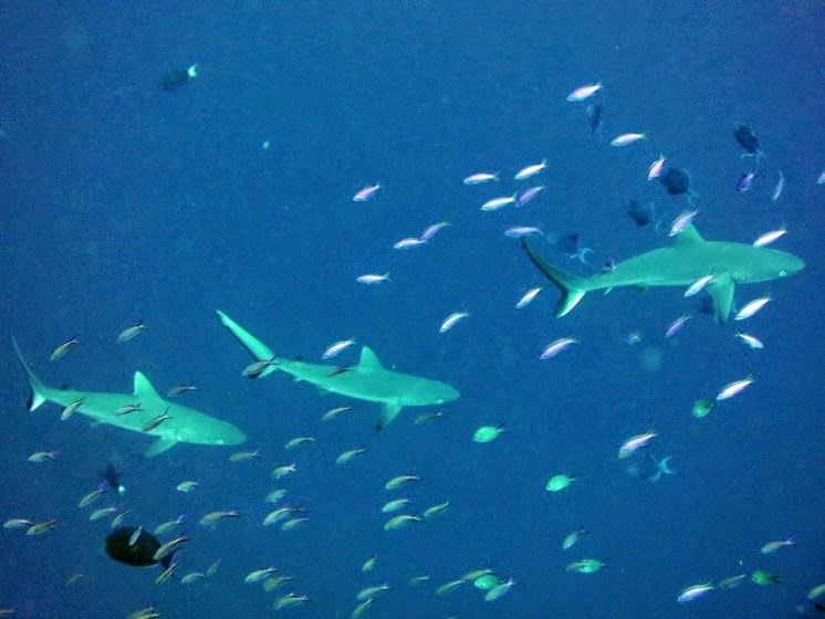 school of sharks tubbataha reef
