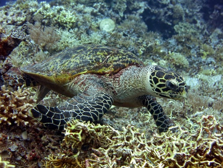 sea turtle tubbataha reef palawan