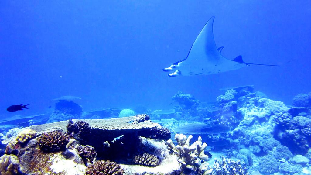 manta rays cocos keeling